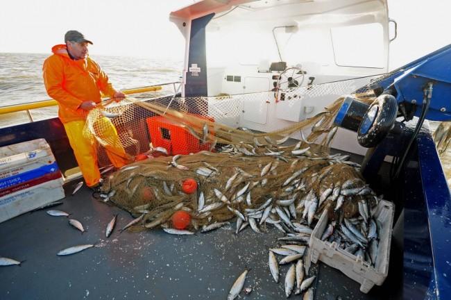 Norfolk longshore herring