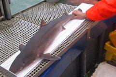Fishermen buy-in to shark by-watch