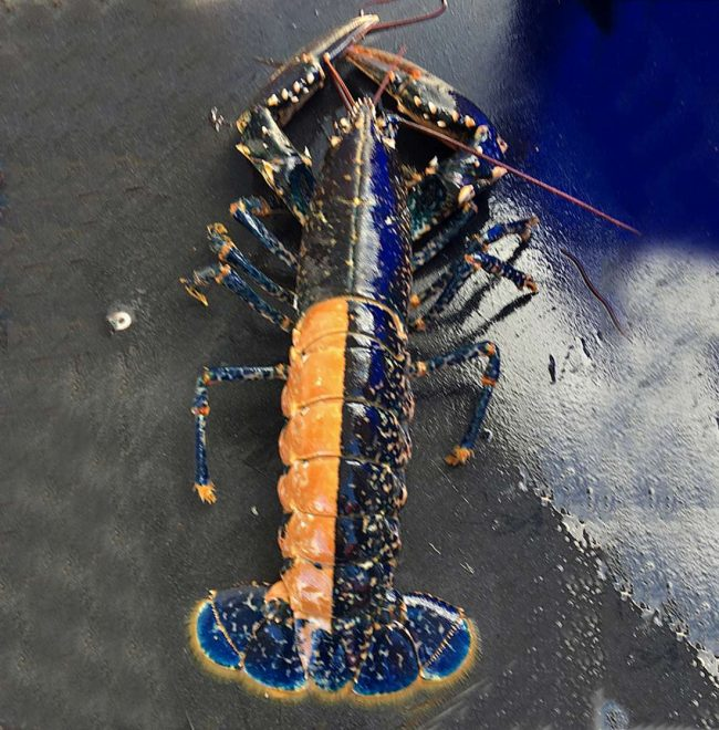 Unusual catches: orange and blue Holy Island lobster