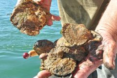 Mersea oyster-dredging match: staying native