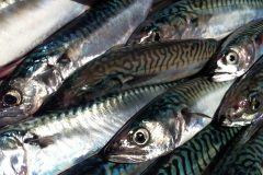 Scottish Mackerel Industry Warns Against Duty Free Exports for Norway