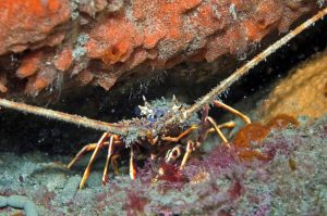 Crawfish of 95mm in carapace length are far too small, says Cornwall IFCA, which has an MLS of 110mm inside six miles.