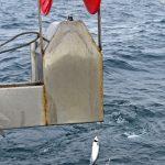 … as mackerel are hauled towards the portside stripper…