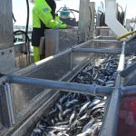 Engineer Alan Lawson operates the gate valves to direct the flow of herring into Pathway's forward RSW tanks…