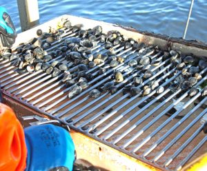 Clams being sorted on a riddle – undersize clams are immediately returned to the sea.
