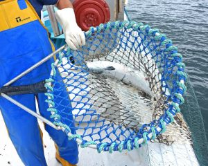 Netting the last salmon of the day over the port side…