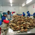 Processing king scallops in Islay Crab Exports' premises on Islay.