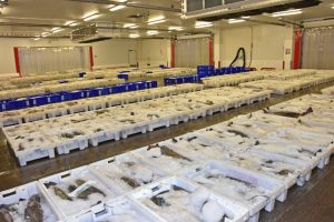 Whitefish laid out ready for auction in one of Fraserburgh's two modern fishmarkets.