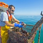 23. Placing cut brown crab into a keep pot.