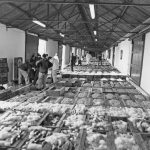 Whitefish laid out for auction in Buckie fishmarket in 1987.