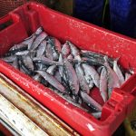 ... having spent an hour getting a few Thames and Blackwater herring.