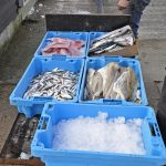 Today the Fresh Catch trolley has cod fillets, sprats, skate wings, and those herring…
