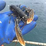 Growth rates of lobsters have been constantly monitored throughout the three years of the LG2 project.