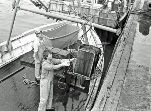 The odd few tea chests made it right through until 1986, and here, young Alan Steer is offloading good hen crab from Superb-Us.