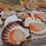 Prime-quality scallops being prepared for export in Whitelink Seafoods' processing factory in Fraserburgh.