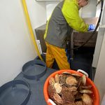 Selecting king scallops as they are moved forward by the catch conveyors.