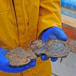 Large scallops are sometimes caught, as well as oysters and queens.