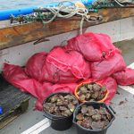 The fruits of a day's work: three bags of oysters and 17 bags of queens.