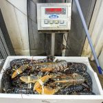 Weighing in Déjà Vu's lobsters.