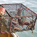 … which might yield mainly brown crab…