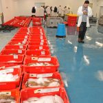 Lemon sole from the inshore trawler Shiralee laid out for auction on Newlyn fishmarket.