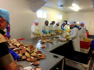 Kallin Shellfish staff shucking scallops.