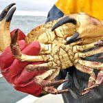 Cromer jack crab.