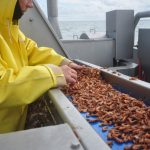 … from where it emerges onto a slow conveyor, where any pink shrimps can be picked out…