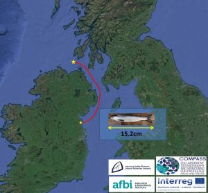 The northward migration route followed by Irish east coast salmon.