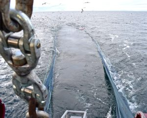 Hauling the twin-rig trawls for the first time on fishing trials in the Moray Firth.