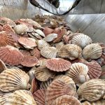 Prime king scallops in the reception hoppers.