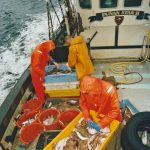 … and sorting a haul of groundfish taken later in the day while trawling near Gallan Head.