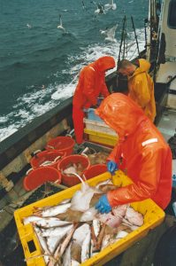 Sorting and gutting the catch while steaming in to Carloway.