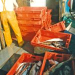 Grading the catch while heading in to Whitby.