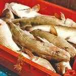 Prime-quality codling associated with short soak net times consistently achieved top prices on Whitby fishmarket.