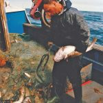 Paul Kipling taking a small run of fish through the hauler…