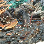 A well-fished pot, with three keepers and two undersized lobsters…