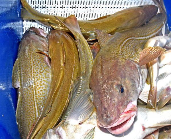 N Sea cod fishing cut