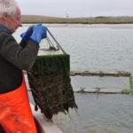 Bill Pinney checks a batch of juvenile oysters…