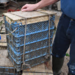 As they get bigger, they go into mushroom trays in stacks of five, each with their own polystyrene raft…