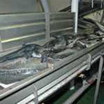 The first fish on Ocean Harvest's selection/gutting conveyor.