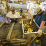Perry Stacey and Annette Heasman use riddling grates and a water sprayer conveyer belt to filter out undersized, open or broken clams…