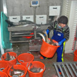 Weighing and labelling coley from one of the four selection bins in Ocean Harvest's fishroom.