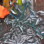 Shaking herring out of the net.