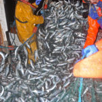 Hauling a well-fished section of drift-net.