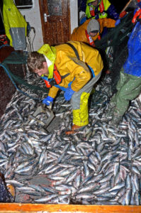 Scooping herring through a scuttle down into the fish hold.