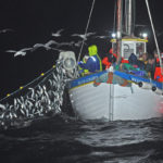 Herring being hauled aboard William Alexander, as decades of tradition are maintained.