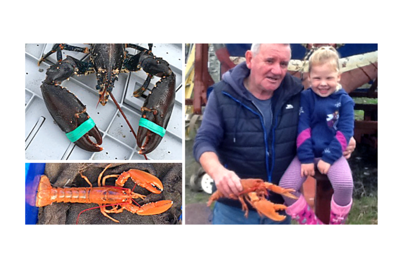 Orange lobsters released from North Uist