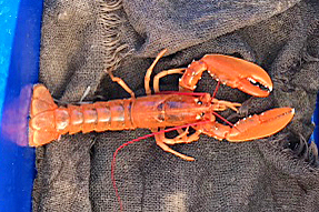 1)The undersized orange lobster that John Riley threw back when hauling creels off Paiblesgarry.