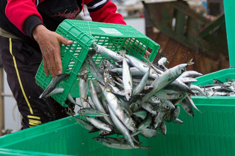 Norway and Faroe increase mackerel quotas by 'reckless' 55%